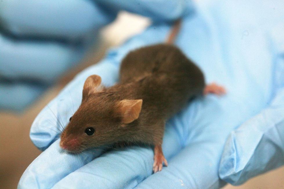 Składnik brokułów zmniejsza objawy starzenia się u myszy. Działa u ludzi?