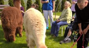 W ośrodku MEDI-system alpaki pomagają osobom z otępieniem