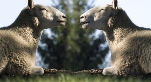 Sklonowane duże ssaki nie starzeją się szybciej