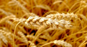 Badania: białka z pszenicy powodują niebezpieczne stany zapalne
