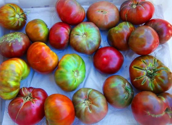 Pomidory aż o połowę spowalniają rozwój raka skóry... u samców myszy