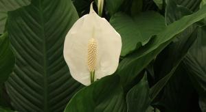 Biolog: powszechnie dostępne rośliny domowe pochłaniają zanieczyszczenia
