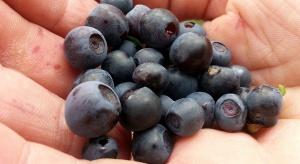 Dieta: borówki poprawiają pracę mózgu osób starszych