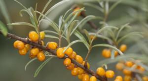 Owoce rokitnika mogą wspomagać leczenie odleżyn. Ale nie tylko