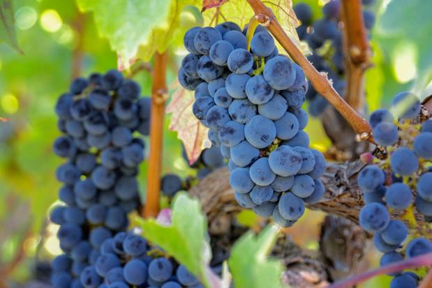 Naukowcy: składnik winogron powstrzymuje rakotwórcze białko, które jest w ponad połowie guzów