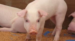 USA: wyhodowane w laboratorium płuca wszczepiono świniom