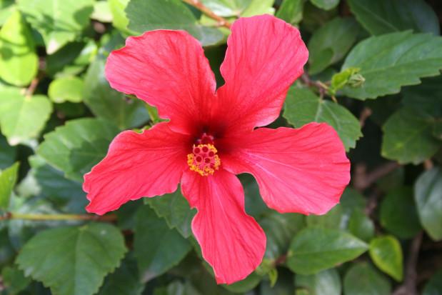 Na letnie pragnienie - napar z hibiskusa
